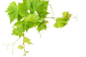 Vine leaves over white JPG
