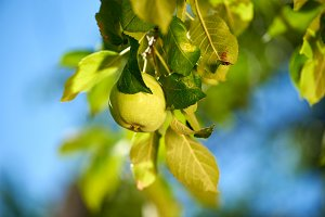 Green apple on the branch over