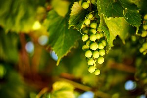 Green grape vine
