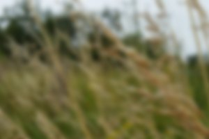 Blurred Nature Wheat 3