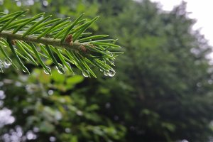Evergreen with raindrops