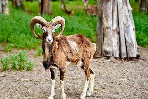 Ibex the wild goat