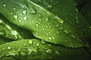 Green leafs with real rain drops