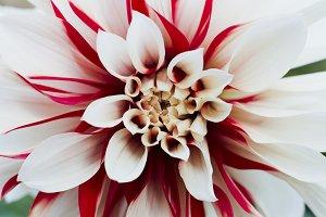 White-red dahlia flower