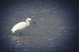 White Egret (Photo)