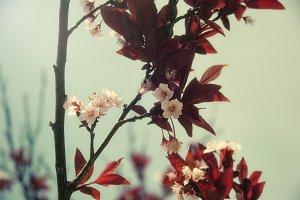 Blossoms and Red Leaves (Photo)