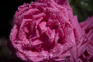 Raindrops On Rose (Photo)
