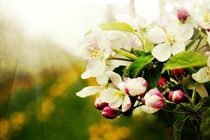 Blossom apples garden background wit