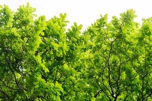 Oak Tree On White Background