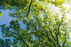 Oak tree crown from below