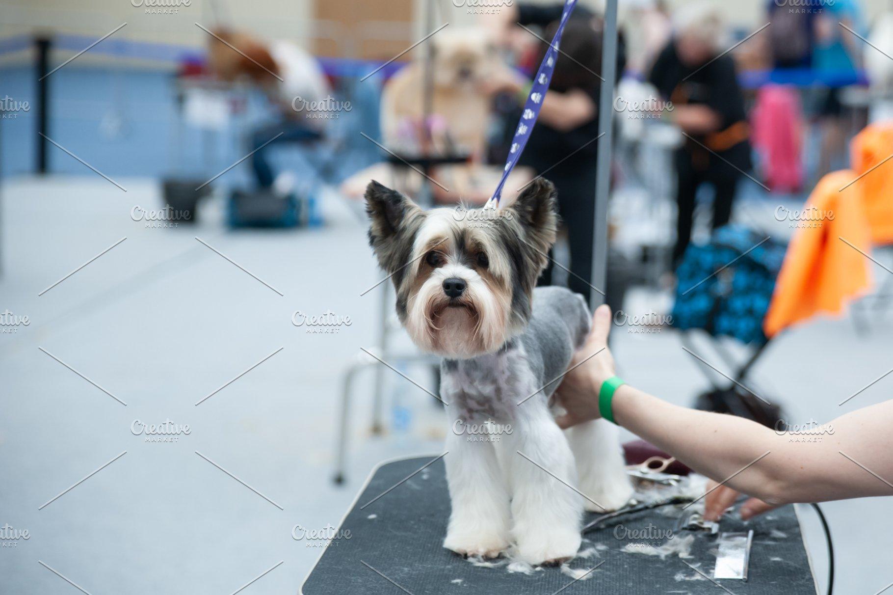 Grooming Yorkshire Terrier Dog Show Animal Photos Creative Market