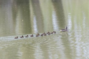 small duck hatchlings