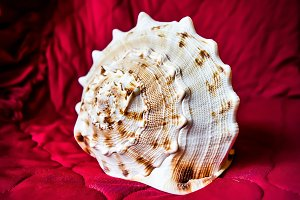 Sea shell on a red background
