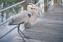 Great Blue Herons & Duck Photos