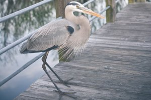 Great Blue Herons & Duck Photos