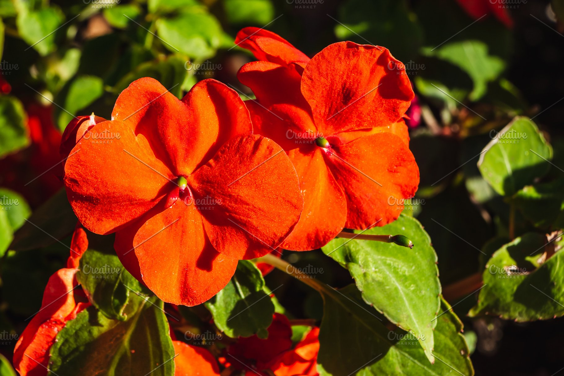 Balsamine Or New Guinea Impatiens Re High Quality Nature Stock