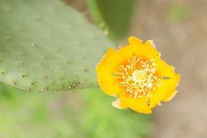 Flower of nopal cactus.
