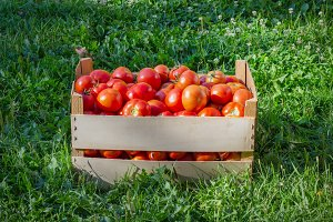 Box of ripe red tomatoes on a green grass