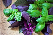 Bunch fresh basil on a wooden background. Aromatic spice