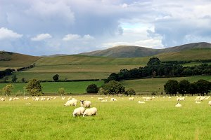Highland green field and sheep