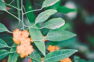 Green orange plant