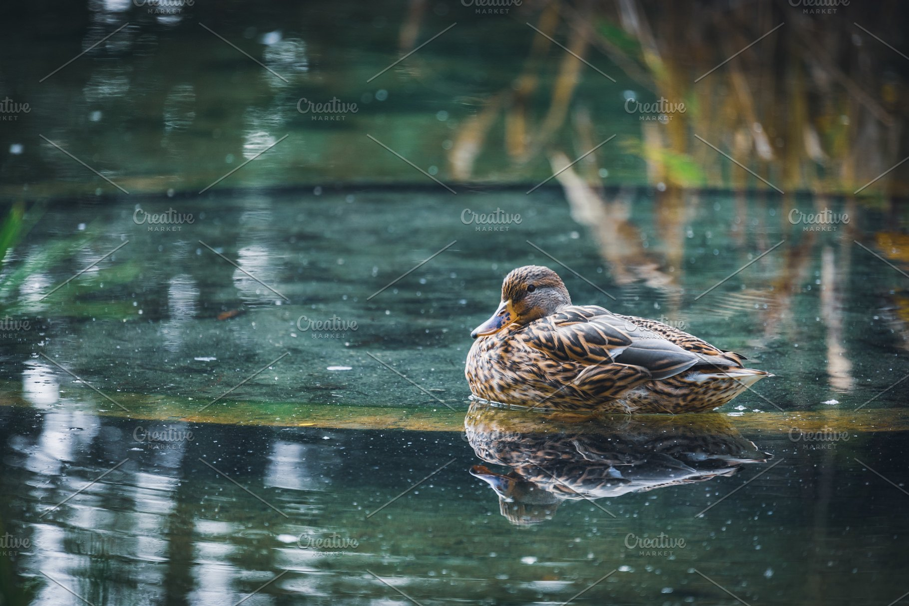 Mallard Duck Resting In A Pond Ii