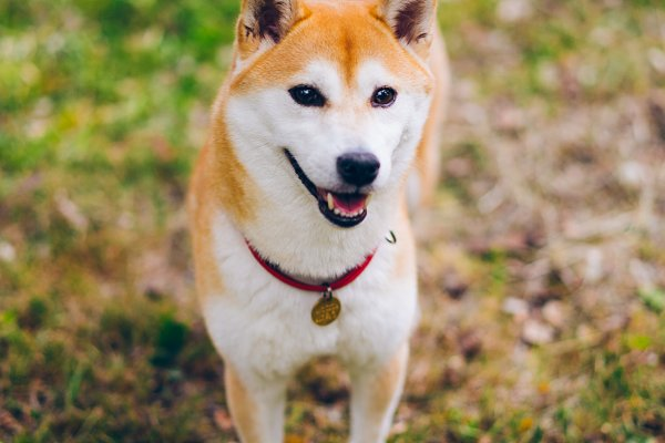 Portrait of cute shiba inu dog | High-Quality Animal Stock Photos ~  Creative Market