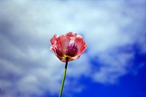 Tulip in Alaska