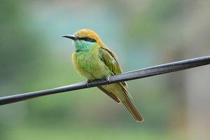 Green Bee Catcher