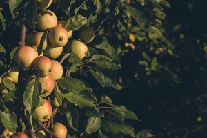 Apples on Tree in Evening Light