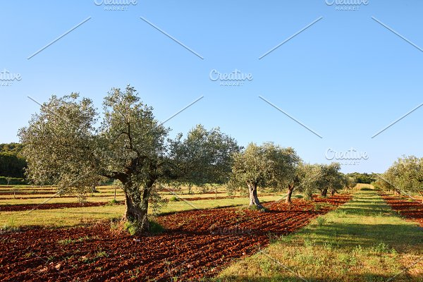 Mediterranean olive trees in a row ~ Nature Photos ~ Creative Market