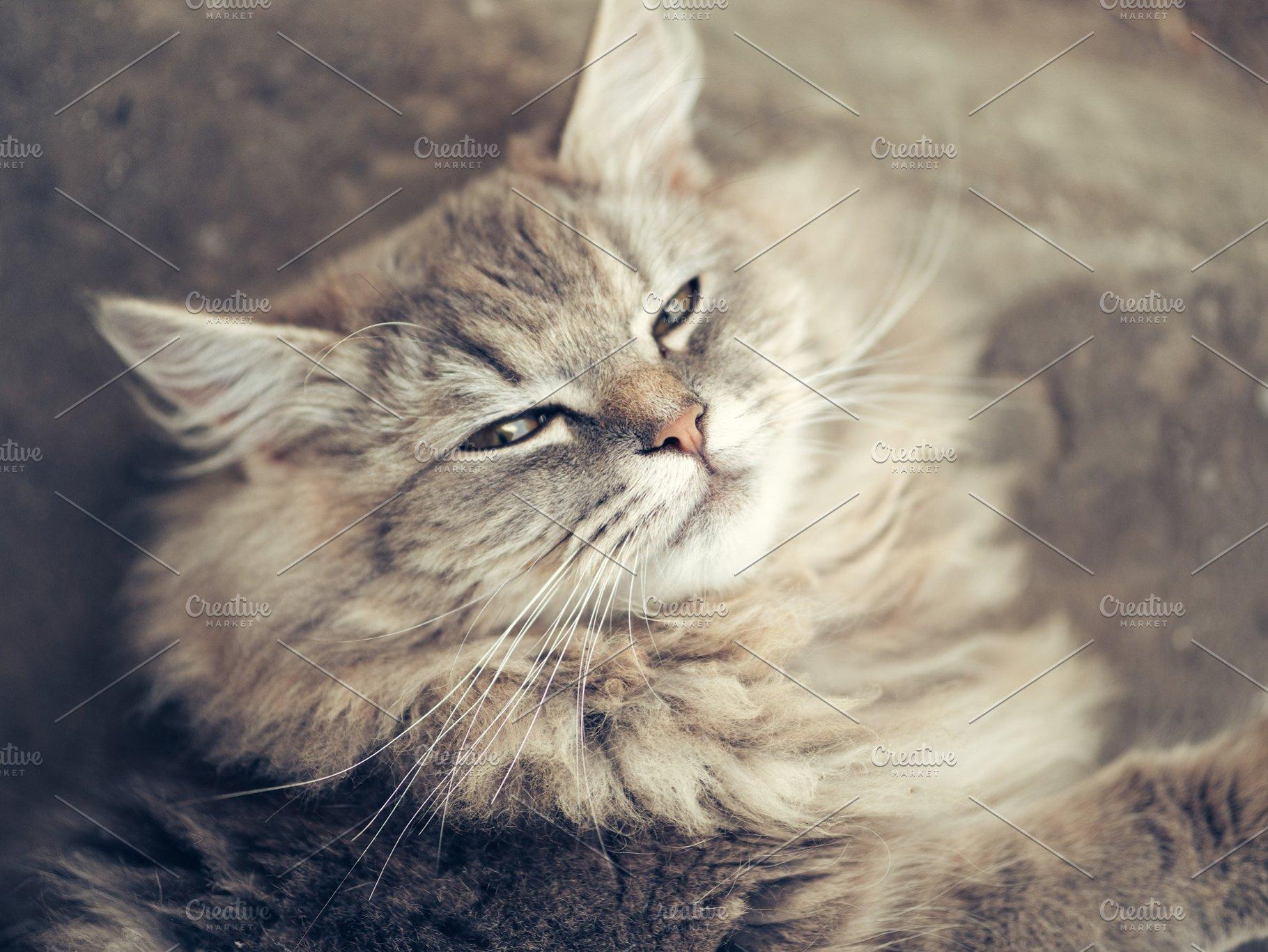 Beautiful Fluffy Grey Cat Sleeping High Quality Animal Stock