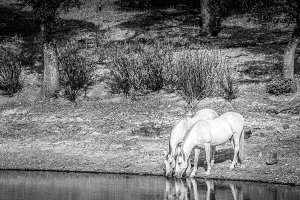 horse drinking in a lake black and w