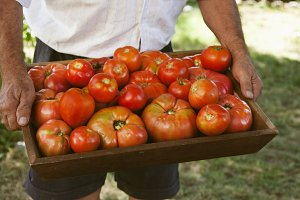 farmer with tomatoes tray