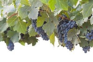 Lush Grape Bushels Against White