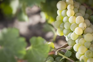 Beautiful Lush White Grape Bushels Vineyard in The Morning Sun