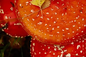 Amanita muscaria red fly-agaric