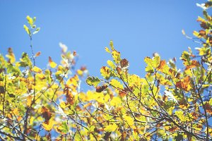 Oak branches with colorful leafs