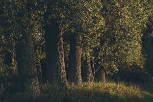 Line of Trees in Evening Light