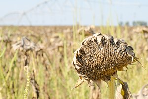 Dry sunflower.