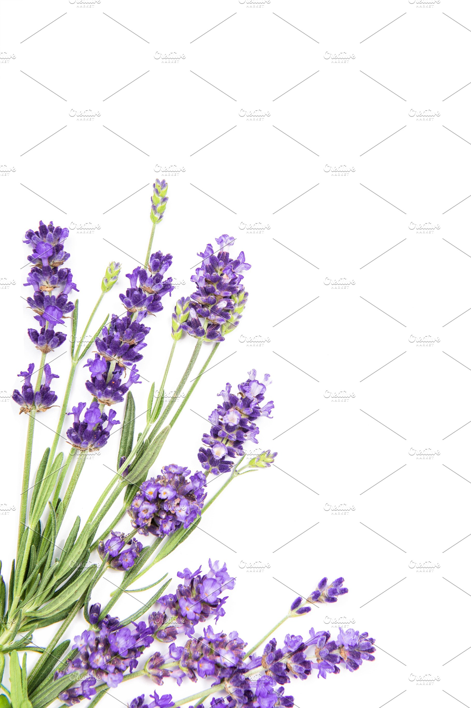 Lavender Flowers White Background High Quality Nature Stock