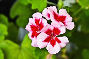 Flowers of the geranium