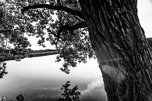 B&W 100 Year old Oak Tree over lake