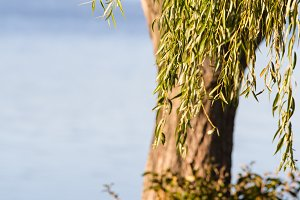 Willow Tree at lake