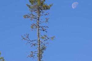 High spruce against the blue sky