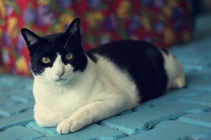 Chubby black and white cat
