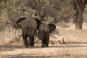 Desert Elephants in Namibia