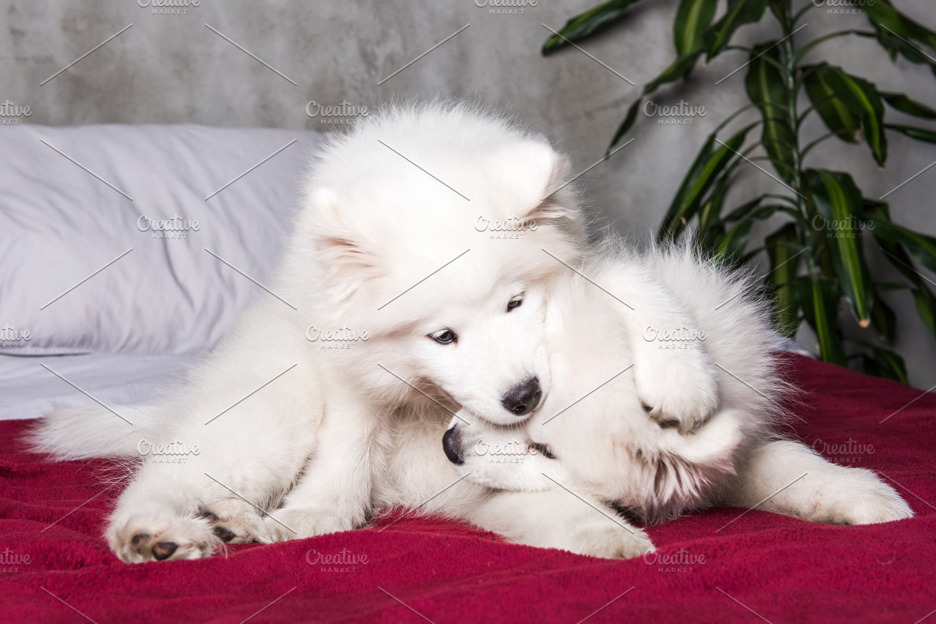 Two Samoyed Dogs Puppies Are Playing
