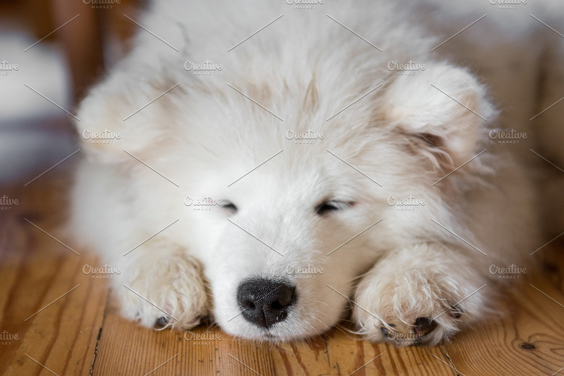 Samoyed puppy laying on the floor