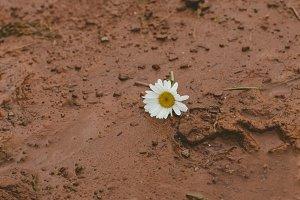 Daisy in mud